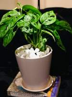 Used Monstera Indoor Plant in Dubai, UAE