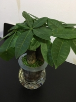Used Money Tree Bonsai in Self Watering Jar in Dubai, UAE