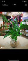 Used Fresh Peace Lily in Dubai, UAE