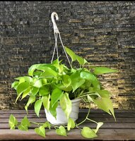 Used Hanging Money Plants in White Pot in Dubai, UAE