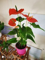 Used Anthurium plant, red in Dubai, UAE