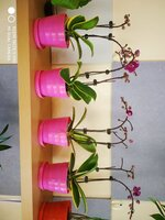 Used Orchid plant in Dubai, UAE