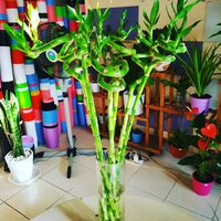 Used Lucky bamboo sticks in Dubai, UAE
