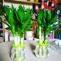 Used Lotus bamboo plant in Dubai, UAE