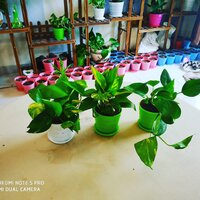 Used Money plant, pothos in Dubai, UAE