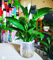 Used Peace Lily, self watering in Dubai, UAE