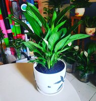 Used Peace Lily plant. in Dubai, UAE