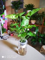 Used Syngonium plant in Dubai, UAE