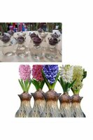 Used Hyacinth fragrant plant in Dubai, UAE