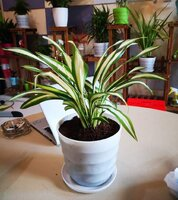 Used Spider plant in Dubai, UAE