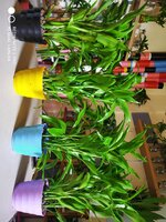 Used Dracaena reflexa in Dubai, UAE