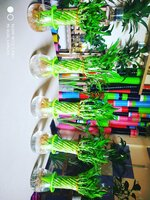 Used Lucky Bamboo indoor plant in Dubai, UAE