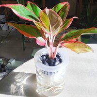 Used Red Aglaonema Plant in Dubai, UAE