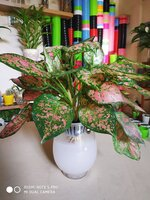 Used Natural Aglaonema plant in Dubai, UAE