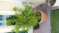 Used Jasmin plant in Dubai, UAE