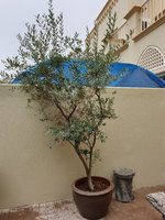 Used Large olive tree with big pot in Dubai, UAE