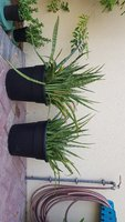 Used Sanseveria LARGE x 2 in Dubai, UAE