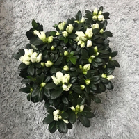 Used Evergreen Azalea in Dubai, UAE