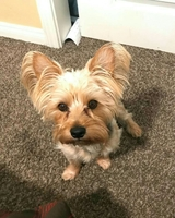 Used Yorkie Puppy🐶 NINA ready For Adoption in Dubai, UAE