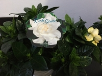 Used Super Sweetly Fragrant Gardenia in Dubai, UAE