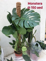 Used Monstera in Dubai, UAE