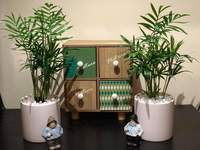 Used 1 Bamboo Plant in Dubai, UAE
