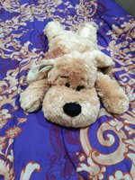 Used Teddy dog in Dubai, UAE