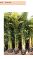 Used Areca Palm 2.5 Mtrs in Dubai, UAE
