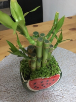 Used Lucky Bamboo in Ceramic Strawberry Pot in Dubai, UAE