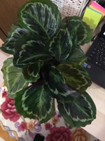 Used Jungle Velvet Calatheas in Dubai, UAE
