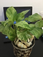 Used Marble Queen Money Plant in Dubai, UAE