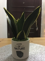Used Snake Plant in White Ceramic Pot in Dubai, UAE