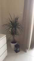Used House plant and ceramic pot  in Dubai, UAE