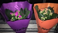 Used Flaming Kity / Kalanchoe in Dubai, UAE