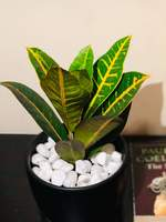 Used Variegated Crotons Plant in Dubai, UAE