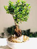 Used Ficus Bonsai in Dubai, UAE