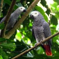 Used Cameroon parrots for sale male n female in Dubai, UAE