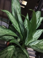 Used Chinese Evergreen in Dubai, UAE