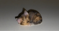 Used Tiny kitten figurine from Turkey. in Dubai, UAE