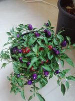 Used Chilli plant in Dubai, UAE