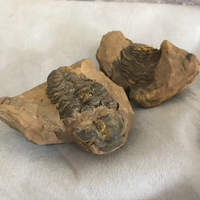Used Trilobite fossil in Dubai, UAE