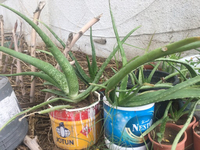 Used Fresh aloe Vera plant  in Dubai, UAE