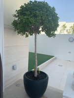 Used Round tree plant with pot in Dubai, UAE