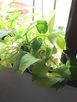 Used Golden Pothos in White Hanging Pot in Dubai, UAE