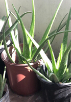 Used Fresh aloe Vera plant 🌱 with a pot  in Dubai, UAE