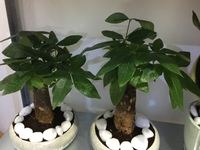 Used Money Tree Bonsai in Ceramic Pot in Dubai, UAE