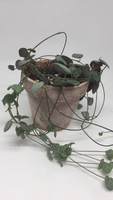 Used String of heart(Ceropegia woodii) in Dubai, UAE