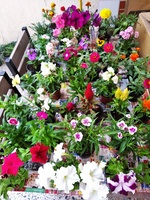 Used Flower Plants in Dubai, UAE