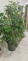 Used Tall Indoor Plants in Dubai, UAE