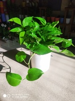 Used Money plant (self watering) in Dubai, UAE